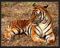 gambar suara harimau