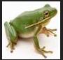 gambar suara katak