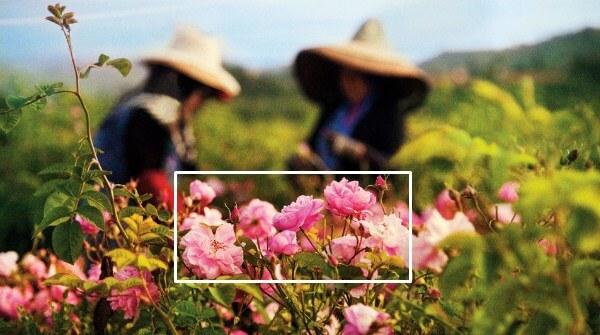 Proses pembuatan parfum chanel no 5 pakai Rosa centifolia